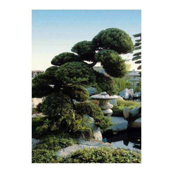 LOGO_Juniperus chinensis