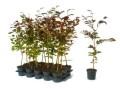 LOGO_Heckenpflanzen im Container - die bessere Alternative zu wurzelnackten Pflanzen