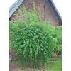 LOGO_Jade Bambus Original ®