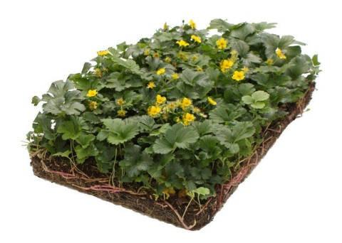 LOGO_Covergreen® Waldsteinia ternata Golderdbeere