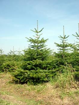 LOGO_Weihnachtsbäume in Spitzenqualität