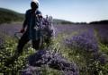 LOGO_Organic Lavender oil