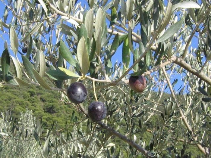 LOGO_Olive tree