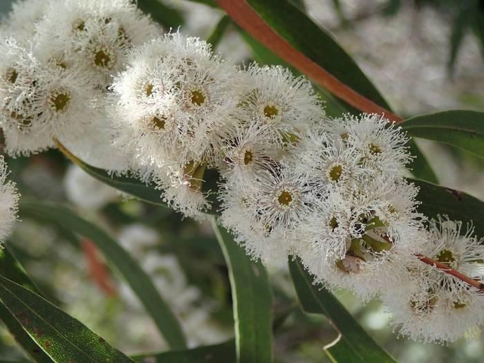 LOGO_Eucalyptus Australiana
