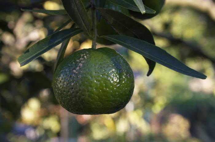 LOGO_Green mandarin