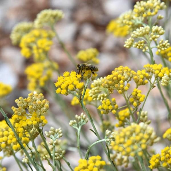 LOGO_Helichrysum italicum ätherisches Öl
