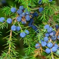 LOGO_Juniper Berry ätherisches Öl