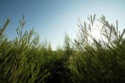 LOGO_Tea Tree Essential Oil
