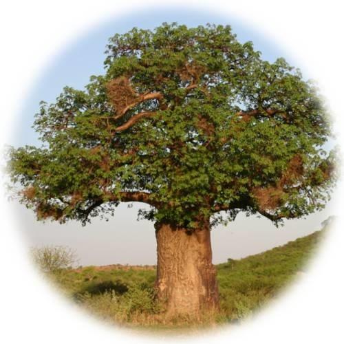 LOGO_floviva Bio Baobab Samen-Öl